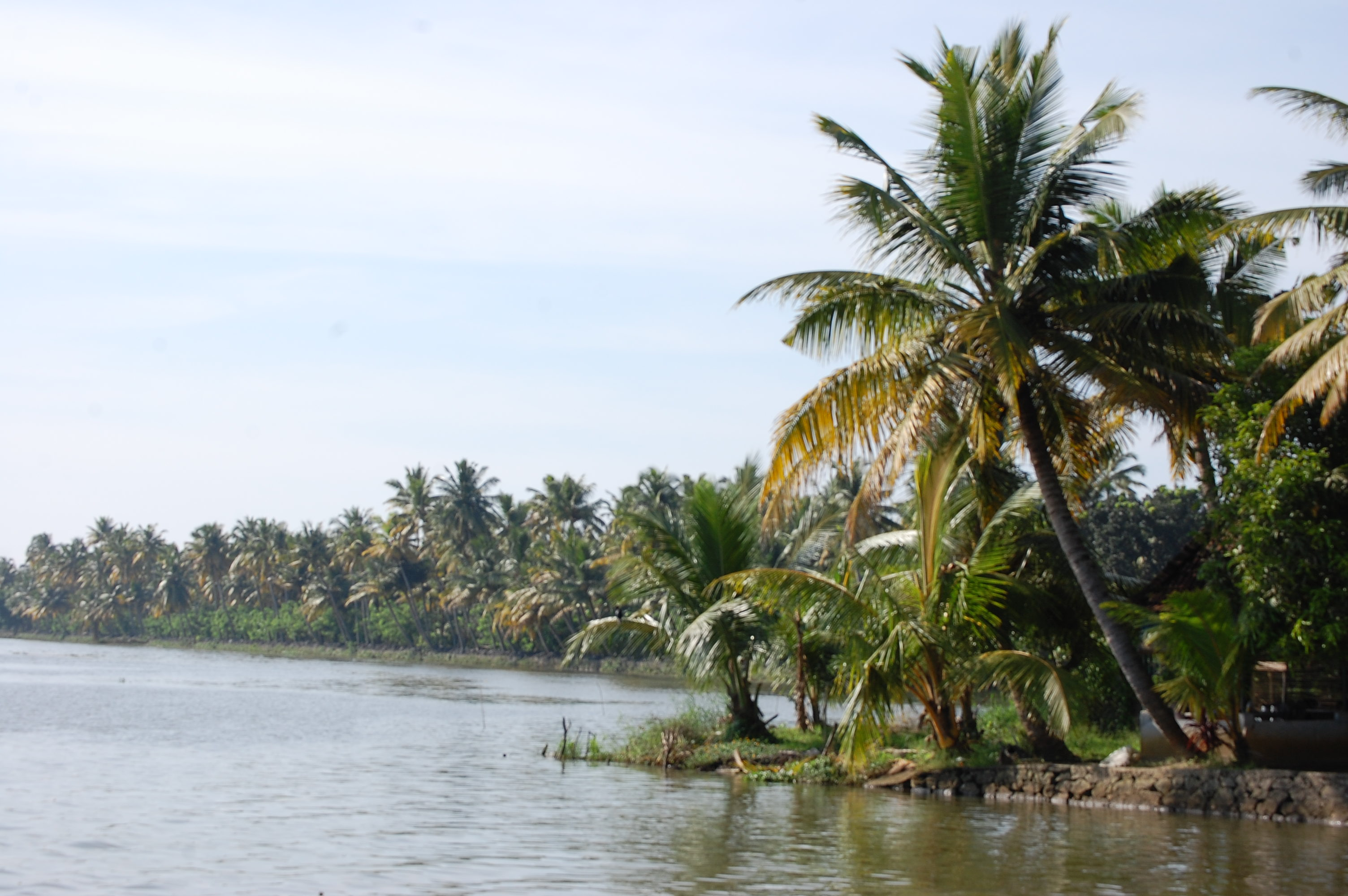 Coconut trees by the water 13185