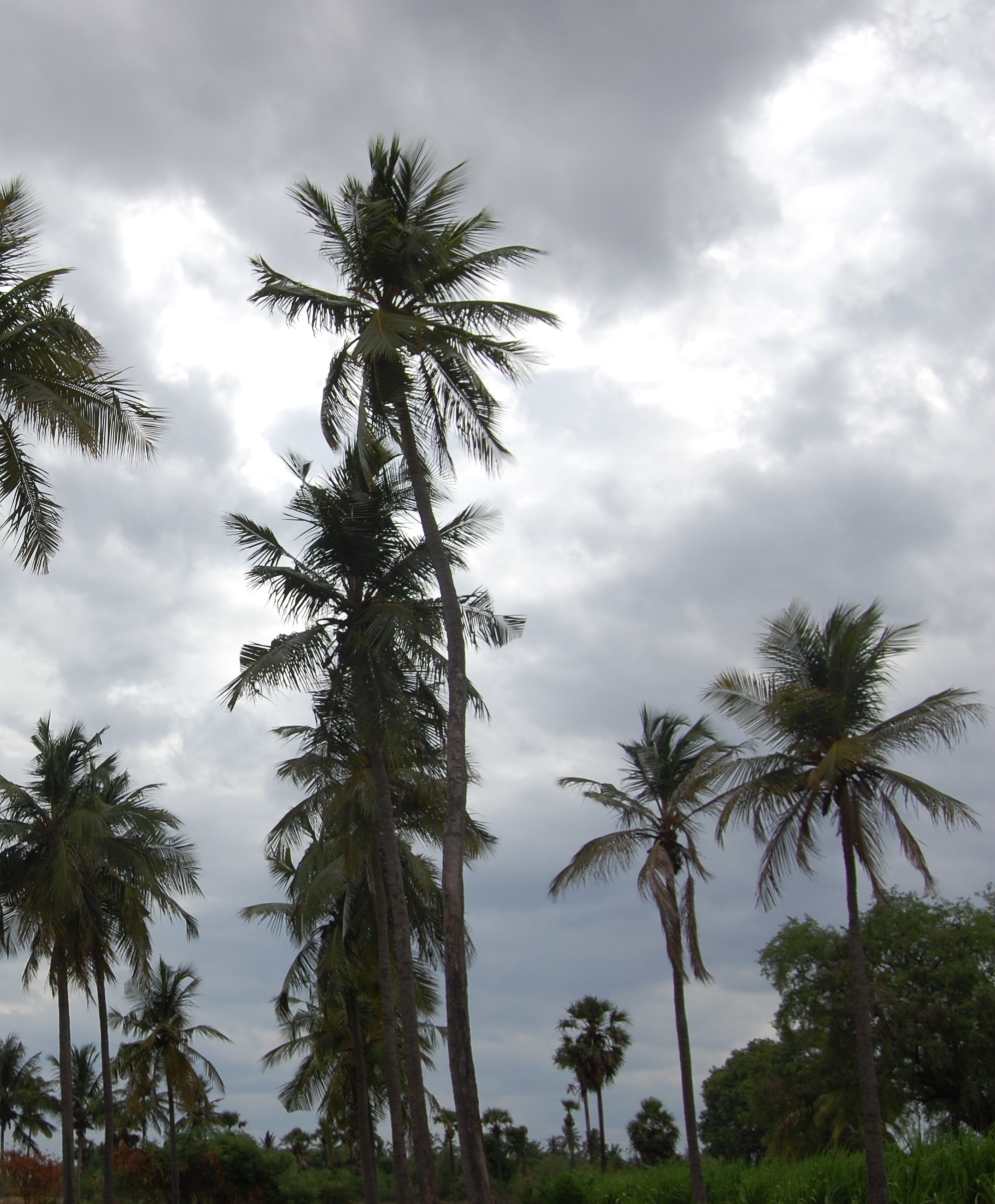 Coconut trees 13190