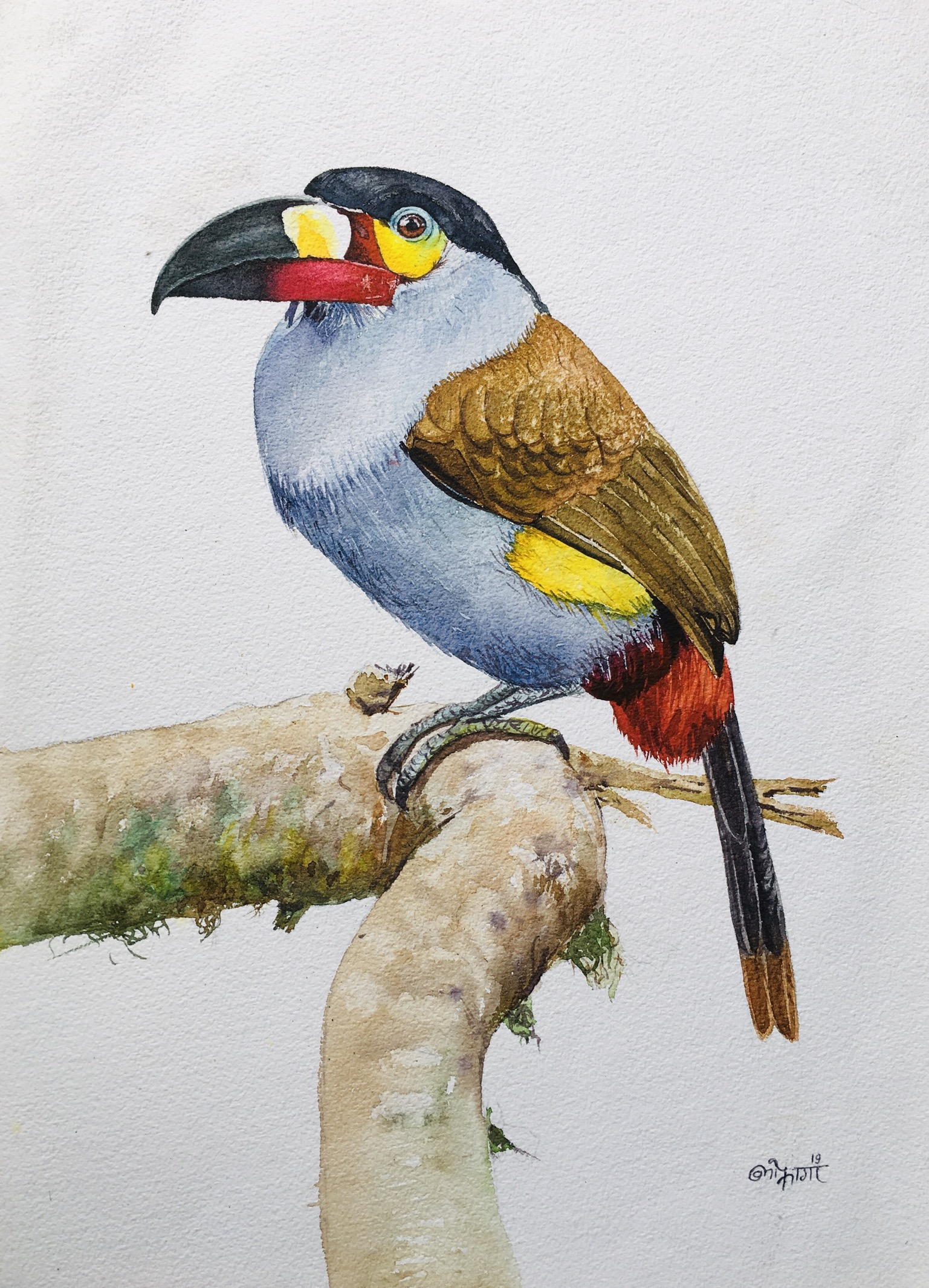 Plate-Billed Mountain Toucan (B2) 16500